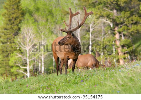 large north american bull elk standing in a field