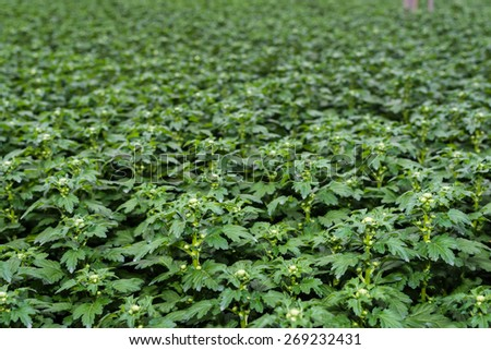 Large number of young chrysanthemum plants with lots of buds in a Dutch greenhouse horticulture company specialized in cut flowers. - stock photo