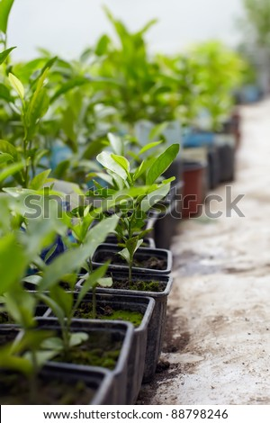 large number of young lemon and orange plants cultivated in a greenhouse