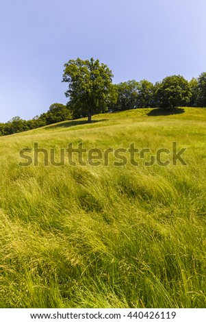 large oak tree on a hill with green grass - stock photo