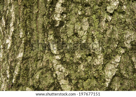Large Oak Tree with moss growing on the north side of it - stock photo