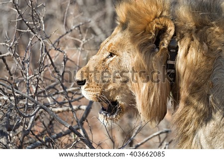 Large old male lion with collar at sunset in Ongava Game Reserve bordering Etosha National Park, Namibia
