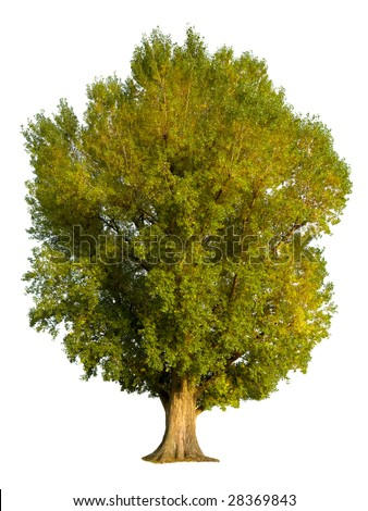 Large old poplar tree, isolated on pure white background