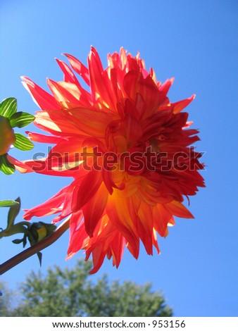 large orange flower - stock photo