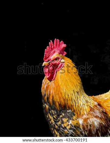 large orange rooster with black tail and red comb standing on a black background - stock photo