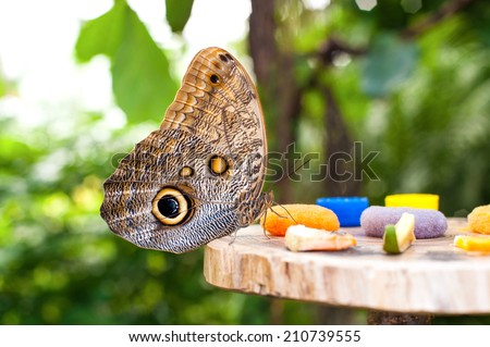Large Owl butterfly (Caligo memnon) eating fruit juice in botanic garden. Closeup. - stock photo