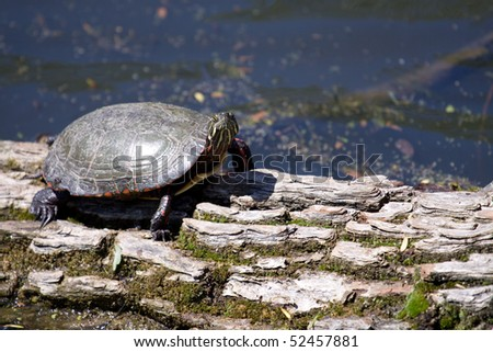 large painter turtle on log in lake