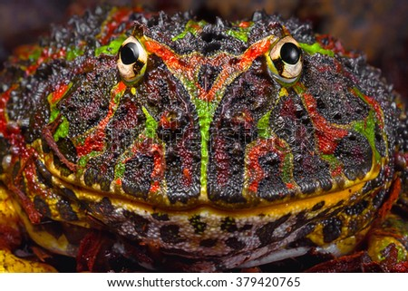 Large patterned tropical frog portrait