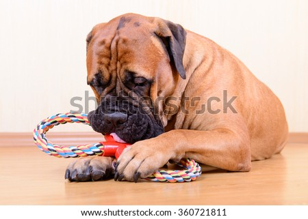 large pet bullmastiff dog playing with his toy - stock photo