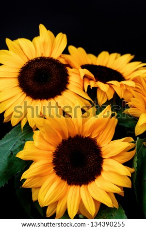 Large picked sunflowers with a black background - stock photo