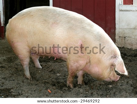 large pig - stock photo