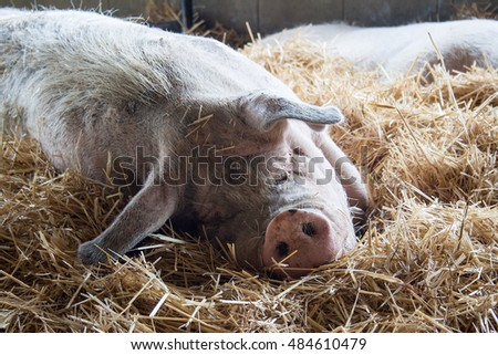Large pig laying in hay