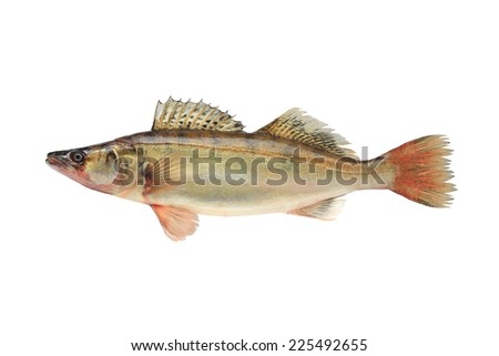 Large pike perch isolated on a white background - stock photo