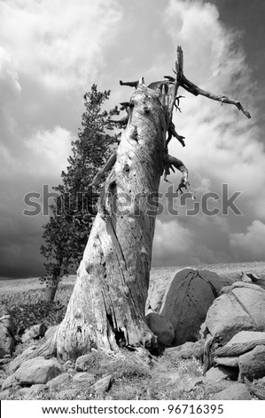 Large pine tree at Donner Summit in California Sierra Nevada mountains in black and white