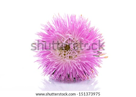 large pink aster on a white background - stock photo