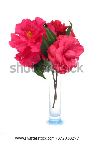 Large Pink Camellia in a Vase Isolated on White - stock photo