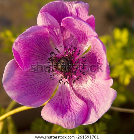 Large pink flower anemone in the garden, closeup - stock photo
