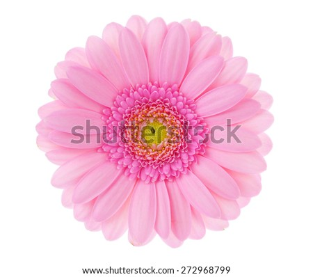 Large pink flower gerbera on a white background