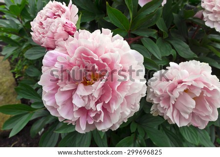 Large pink peony in a garden. - stock photo