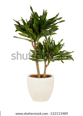 Large plant in a pot, isolated on white
