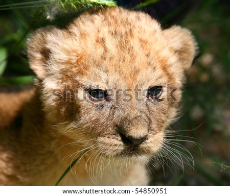 Large portrait of a young lion - stock photo