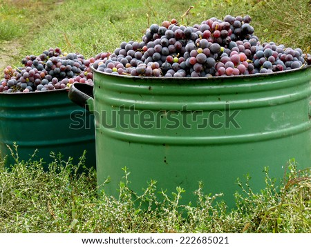 large pots full of fresh harvested grapes - stock photo