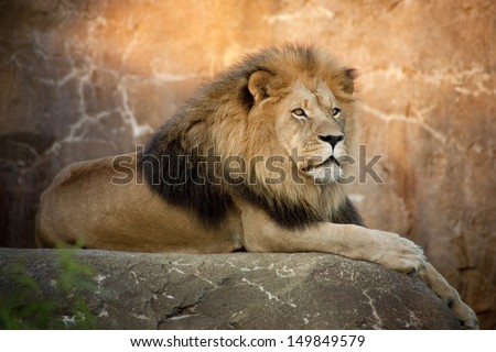 Large, powerful male lion sits on a tall boulder at sunset. At a local zoo,closing time means feeding for many of the animals. This lion waited at a high perch to watch for his caretaker and dinner. - stock photo