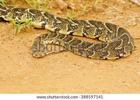 Large Puff adder snake moving slowly across a gravel road - stock photo