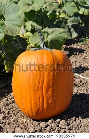Large Pumpkin - stock photo