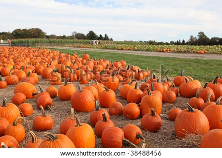 Large pumpkins sitting in field - stock photo