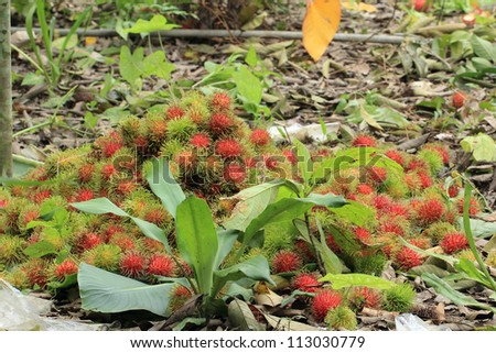 Large quantity of rambutans that have been collected from rambutan trees  or hairy fruit, popular fruit on summer of Thailand