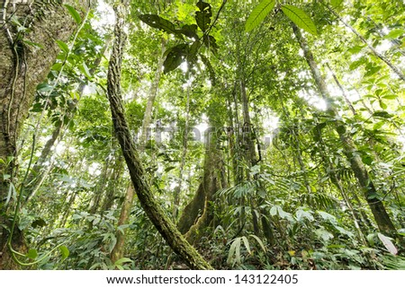 Large rainforest tree with buttress roots in the Ecuadorian Amazon with a liana in foreground - stock photo