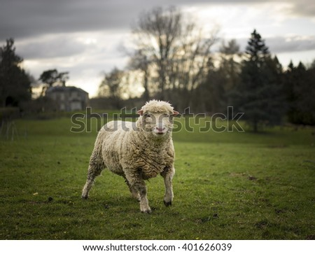 Large Ram. Sheep in Cotswolds Landscape
