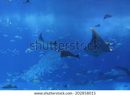 Large Ray in Aquarium - stock photo