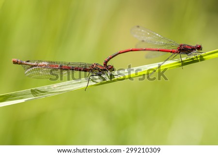 Large red damselfly - mating - stock photo