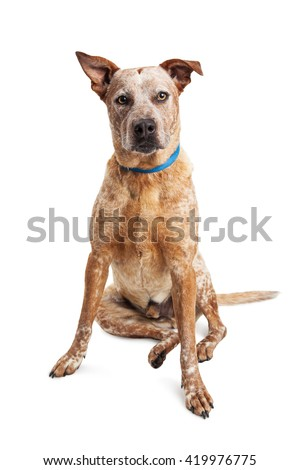 Large red Heeler crossbreed dog sitting looking forward