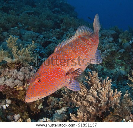 Large Red Sea coral grouper on a coral reef - stock photo