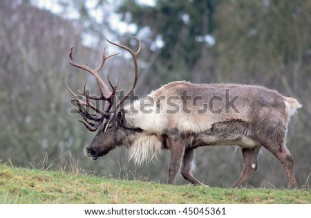 Large reindeer with huge rack of antlers standing in field - stock photo