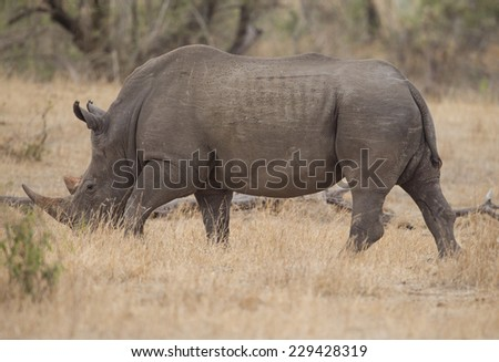 Large Rhino in Kruger National Park