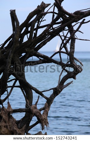 Large roots and a far white sail at the baltic coast/Roots Art - stock photo