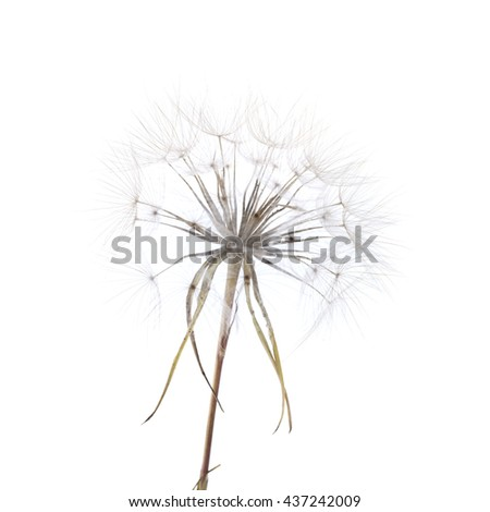 large round dandelion-like ripe seedhead of salsify plant isolated on white
