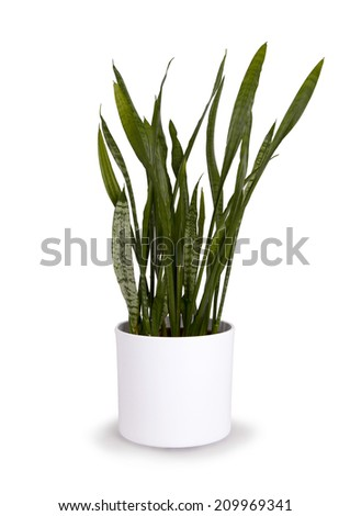 Large sansevieriya in a white pot, isolated on white
