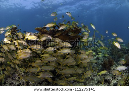 Large school of snapper fish swimming through Elkhorn Coral with a blue water back ground in Key Largo, florida - stock photo