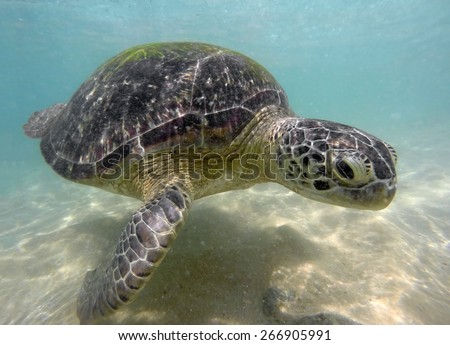 large sea turtle underwater close-up - stock photo