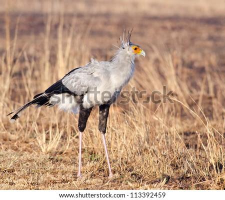 Large Secretary bird posing as with body side on - stock photo