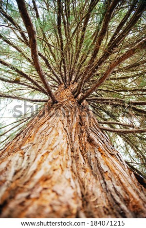 Large sequoia tree with giant branches seen from below - stock photo