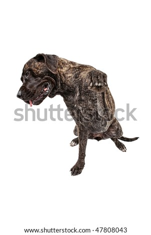 Large shy brindle Mastiff putting paw out to shake hands