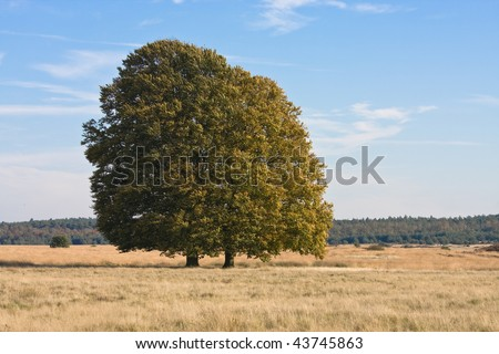 Large single tree with early autumn colors against  a blue sky. National Park 'De Hoge Veluwe', Netherlands - stock photo