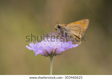 Large skipper butterfly eating nectar from the flower of Scabiosa columbaria, side view. Flora and fauna are well presented here.