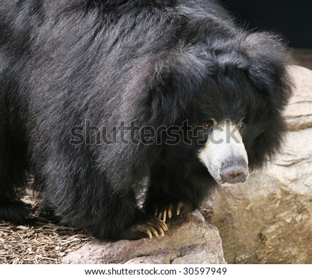 large sloth bear - stock photo